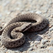 Every outdoorsman and woman who spends enough time in the backcountry will encounter a snake at some point or another. It's important to understand them and avoid them, and know how to care for a venomous bite if need be.