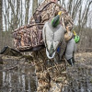 "This week's episode of SportingDog Adventures unveils the ""secret"" weapon for drawing ducks."