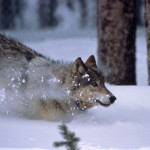 Wyoming has suspended its upcoming wolf season in response to a recent court order.