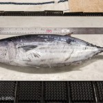 Tuna fishing in Alaska? Scientists say more of the fish may be on their way north.
