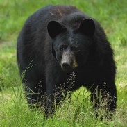 Since 2001, New Jersey has spent more than $9 million on black bear management.