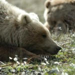 The NPS is proposing a ban on certain hunting methods in Alaska's national preserves.