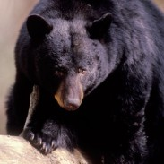 With bear populations on the rise, Maine wildlife officials say that the state cannot afford to eliminate traditional hunting practices.