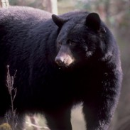 Black bears may not be as large as their brown cousins, but they are still powerful animals.