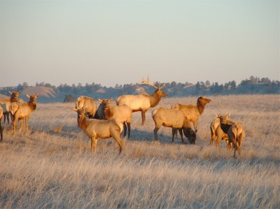 About 90 elk in Virginia are flourishing, thanks to a reclaimed mine site cultivated to be the perfect elk habitat.