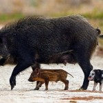 Hunters once again harvest more hogs than deer in Louisiana.