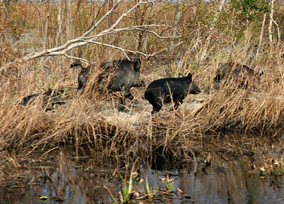 Feral hogs can even damage levees and dikes, but scientists may have a new secret weapon up their sleeves.