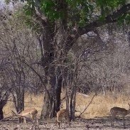 These antelope never expected an airborne leopard attack.