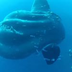 A monstrous mola mola recently caught on film in the Mediterranean.