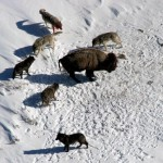 A wolf pack corners a bison in Yellowstone National Park. Outside of the park, Wyoming officials are trying to regain control of the state population.