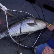 More and more fish being released means that waters are getting crowded, and fish are competing more heavily with one another. This makes large catches like this striped bass that much rarer.
