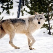 Washington wildlife officials say that a necropsy found that a wolf killed by sharpshooters last month was the pack's breeding female.