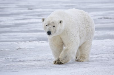 Polar Bear Threat Drives Trick-or-treaters Indoors in Canadian Town