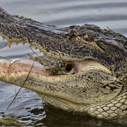 Diners at one Florida restaurant are getting close to some local alligators.