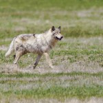 A gray wolf heads for an elk carcass in Yellowstone National Park.