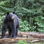 Animal rights activists believe that Maine's Department of Inland Fisheries and Wildlife is overstepping its bounds by opposing the bear hunting proposal on the November ballot.