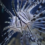 In an effort to control invasive lionfish, some researchers are turning to less conventional methods.