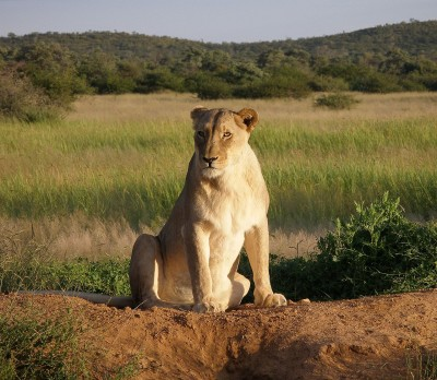 After study, the USFWS has determined that sport hunting benefits African lion populations in many ways.
