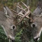 Sparring bucks are truly a sight to behold. Check out these five videos of some of the most intense confrontations ever recorded.