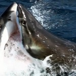 Divers captured footage of a shark-on-shark conflict off the Australian coast.
