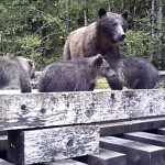 One of these grizzlies was treated to a delicious chew toy in addition to salmon.