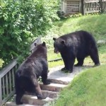 A video reportedly taken in August shows two black bears facing off against each other.