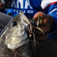 One of the big advantages of fishing the jig is that it is as effective at catching smallmouth and spotted bass as it is at producing largemouth bass.