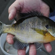 Hand-sized bluegills will take almost any bait presented near bottom in fall.
