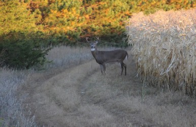 Deer like to spend time in the corn, and windy days allow you to move through the corn without spooking deer. It's common to get remarkably close in these windy conditions.