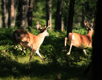 Deer tags help state agencies pay for wildlife research and conservation efforts. This study may teach you a thing or two about how bucks behave.