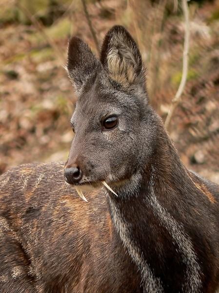 outdoorhub-fanged-deer-spotted-afghanist