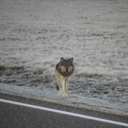 This could be the first gray wolf to see the Grand Canyon in 70 years.