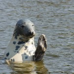 A spotted grey seal.