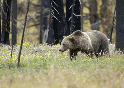 How Closely Are Grizzlies Following Hunters Study Aims to Find Out
