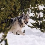 The future of wolf hunting in Michigan remains unclear.