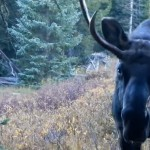 Bull moose close encounter