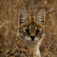 A wild serval cat was discovered on Vancouver Island earlier this week after it was killed while crossing the road.