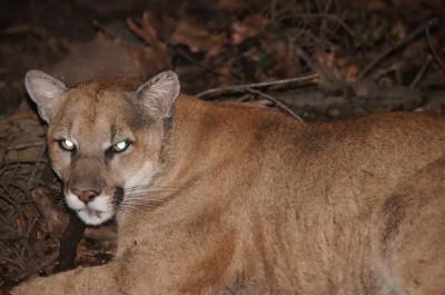 Mountain lions are ambush predators by nature.