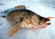Rapala's Jigging Rap has been a go-to ice fishing bait for decades. Photo courtesy of Tom Neustrom, Rapala Pro Staff.