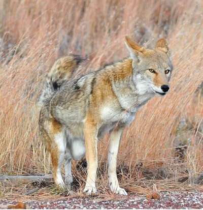 Coyotes are often mistaken for wolves, but are far more common than their larger cousins.