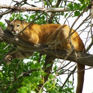 Kentucky wildlife officers dispatched a mountain lion after it was deemed a danger to the public.