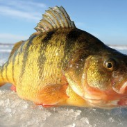 "Known as ""teeter pigs,"" these magnum jumbo perch from Lake Gogebic in Michigan's Upper Peninsula are so big that they teeter and totter, but they don't fall down. Image by Jeff Simpson/in-fisherman.com."