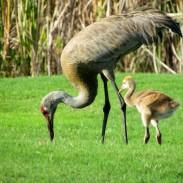 Officials are considering expanding Kentucky's experimental sandhill crane season.