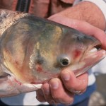 Bighead carp, a type of Asian carp, are on the cusp of entering the Great Lakes. Lawmakers are seeking ways to prevent that from happening.