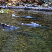 Rain is good news to most fish in California, but rising water levels are confusing Chinook salmon.