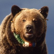 What would provoke a bear to travel more than 2,800 miles across Idaho and Montana? Perhaps a bit of sight-seeing.