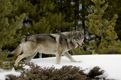 Wolf hunting and trapping opportunities are now available to many outdoorsmen throughout the United States. One of Canada's most well-known trappers, Gordy Klassen, has extensive experience trapping the canines and shared some of his expertise with the author. Image copyright Getty Images/photofellow.