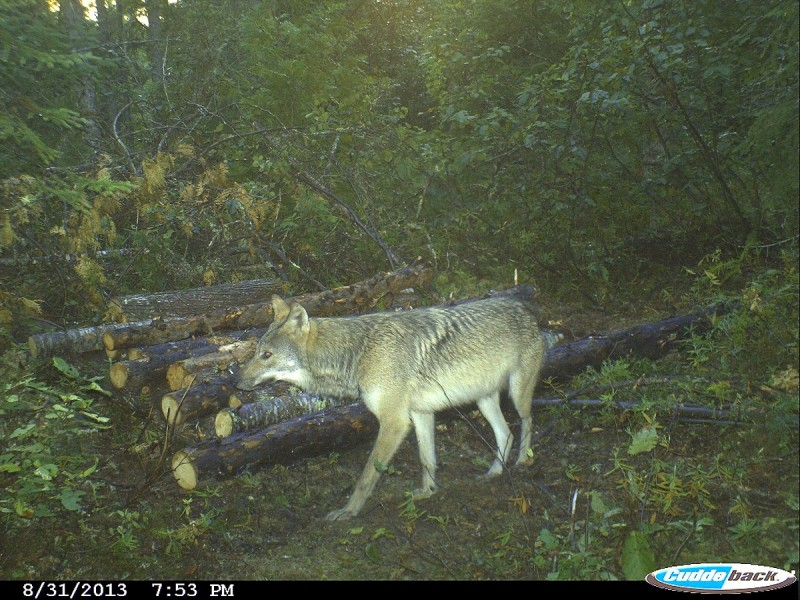 A good bait will draw wolves day after day. If you have one wolf coming to your bait, you most likely have several. Wolves are easy to trap, but you must do it on their terms. Image courtesy Bernie Barringer.