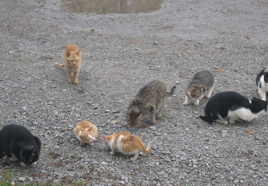 Feral cats can have a large impact on the local environment. A new study has found that outdoor felines may be spreading a dangerous parasite to deer.