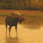 Canada moose top